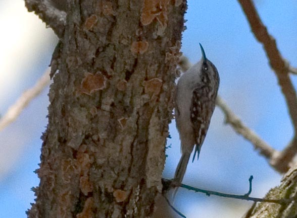 brown_creeper.jpg