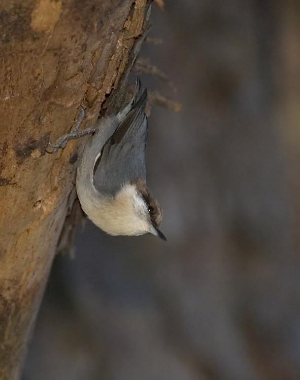 brown_headed_nuthatch_2.jpg